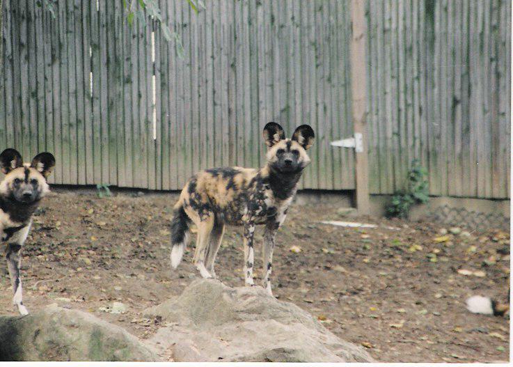 Coydog Nh: Wild Dog Foundation